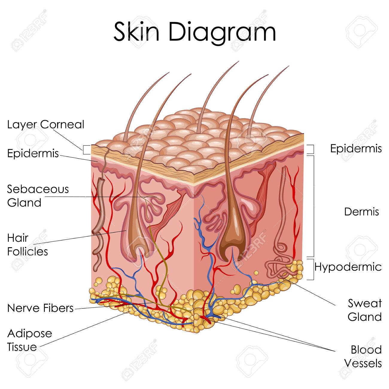 Skin Diagram: Cross Section for Scalp